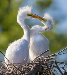 Pair of delicate, juvenile great egrets playing in nest.