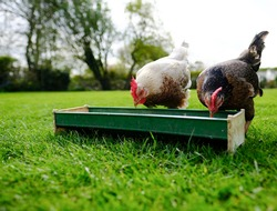 Pair of domestic bantam chicken hens seen feeding from a trough in a large rural garden in  springtime.