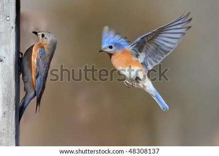 Pair of Eastern Bluebird (Sialia sialis) on a birdhouse