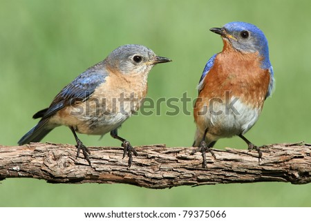 Pair of Eastern Bluebird (Sialia sialis) on a branch with a green background