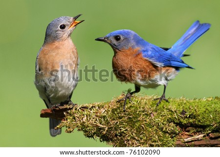 Pair of Eastern Bluebird (Sialia sialis) on a log with moss