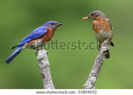 Pair of Eastern Bluebirds (Sialia sialis) on a branch with a green background