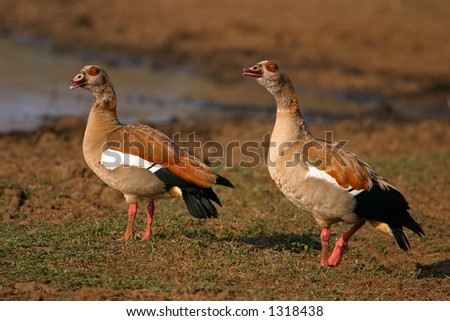 Pair of Egyptian geese, (Alopochen aegyptiacus), Kruger National Park, South Africa