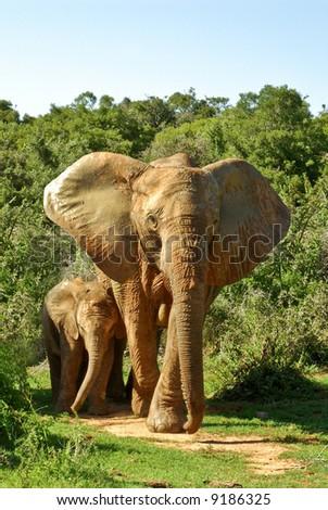 pair of elephants jumbo bull and baby in savannah
