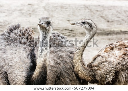 Shutterstock Pair of Emu birds - Dromaius novaehollandiae. Emu is the second-largest living bird by height, after its ratite relative, the ostrich. Beauty in nature.