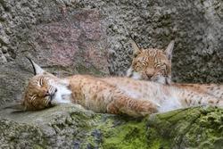Pair of Eurasian lynx (Lynx lynx) sitting on rock in nature. Beast of prey . Wild big cat. Wildlife scene from nature.