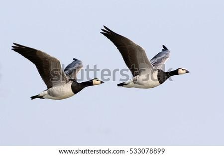 Pair of European Barnacle Geese (Branta leucopsis) in flight