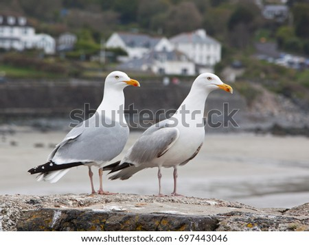 Pair of European Herring Gulls ( Larus argentatus ) perched on a sea wall in Cornwall UK