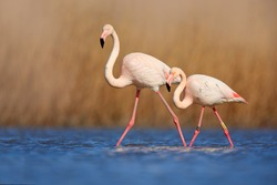 Pair of flamingos. Bird love in blue water. Two animals walking in the lake. Greater Flamingo, Phoenicopterus ruber, in the water, Camargue, France. Wildlife bird behaviour, nature habitat.