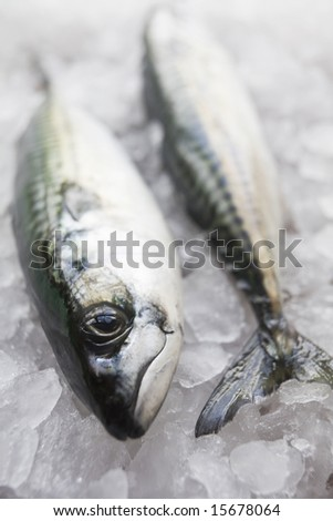 Pair of freshly caught mackerel on bed of ice