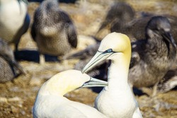 Pair of Gannet birds in the Bonaventure Island, near Perce, at the tip of Gaspe Peninsula, Quebec, Canada