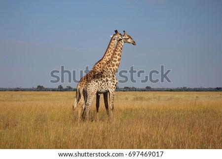 Pair of Giraffe  #697469017