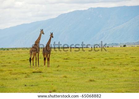 Pair of giraffes in savannah, near lake Manyara