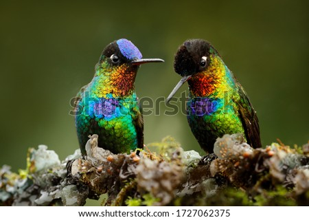 Pair of glossy shiny tinny bird. Fiery-throated Hummingbird, Panterpe insignis, colourful red bird sitting on branch. Mountain bright animal from Costa Rica. Red bright bird in the tropic forest. stock photo