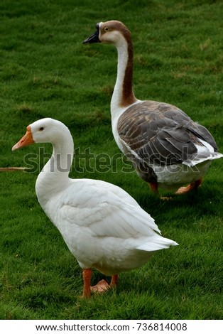 Pair of goose #736814008