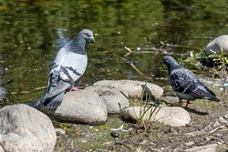 Pair of Gray pigeons with bright eyes and rainbow neck is sitting on a gray stone by water