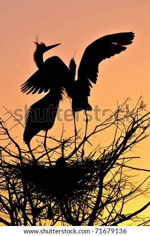 pair of great blue herons silhouetted at nest in florida wetland pond by dawn sunrise