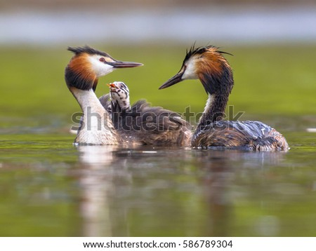 Pair of Great crested grebe (Podiceps cristatus) female swimming with chicks on back. This is a water bird noted for its elaborate mating display.