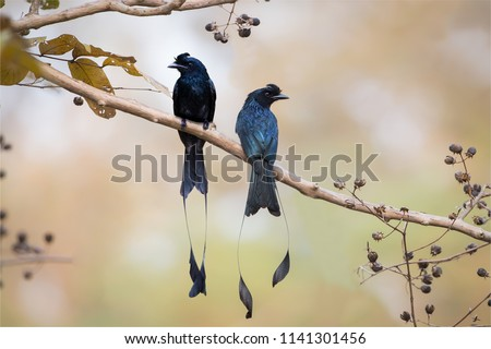 Pair of Greater Racket-tailed Drongo, side view show the crest of curled feather, on perch looking in different direction. Pair of Greater Racket-tailed Drongo