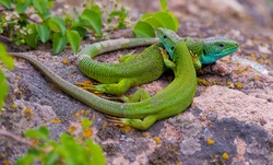 pair of green lizard  in the wild on a granite stone