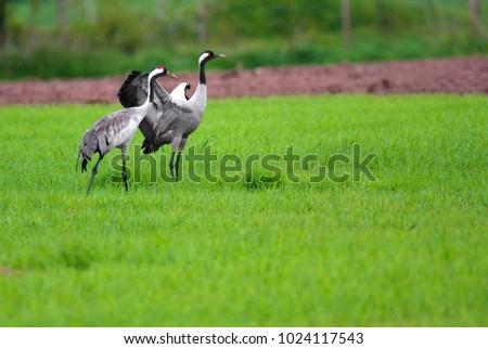 Pair of Grey Crane birds on grassy wetlands during a spring nesting period Zdjęcia stock ©