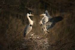 Pair of Grey Herons with youngs on the nest . Heron bringing stick in its beak for nest building. Heron parents with chicks. Heron with spread wings.