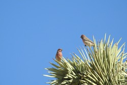 Pair of house finches, male and female, perched upon a Joshua Tree, Mojave Desert, California.