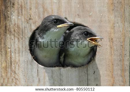 Pair of hungry Baby Tree Swallows (tachycineta bicolor) looking out of a bird house begging for food