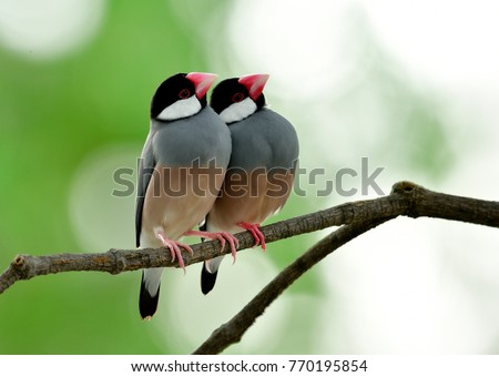 Pair of Java Sparrow (Lonchura oryzivora) beautiful grey birds with pink legs and faces perching together on branch in sweet moments #770195854