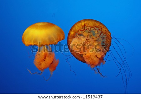 Pair Of Jellyfish