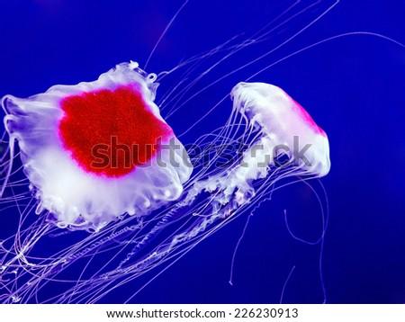 Pair of jellyfish swimming in deep blue sea