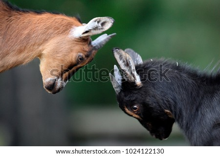 Pair of juvenile African Pygmy goats in zoological garden