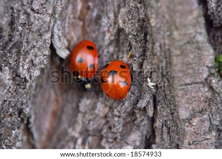 pair of ladybird on oak  bark
