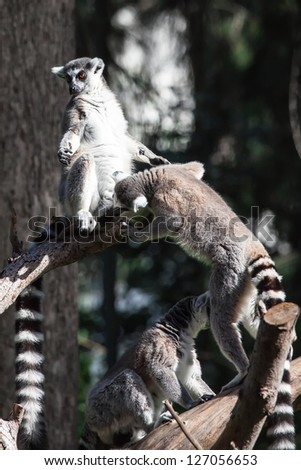 pair of lemurs sitting in a funny pose