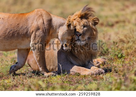 Pair of Lions cuddle in the heat of Ngorongoro Conservation Area in Tanzania