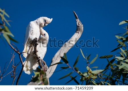 Pair of Little Corellas (Cacatua sanguinea) in Sturt National Park, outback NSW, Australia