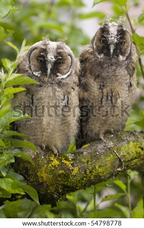 Pair of long-eared owl on the tree branch.