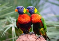 Pair of lorikeet parrots sitting on a rock
