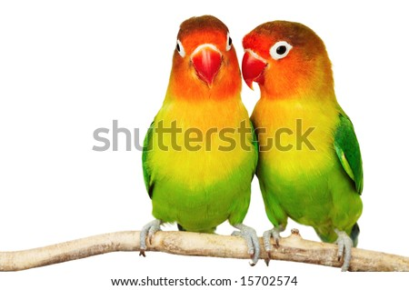 stock photo : Pair of lovebirds agapornis-fischeri isolated on white