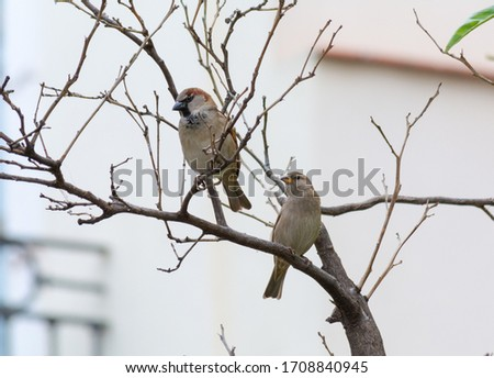 pair of male and female sparrows perched on a branch. two birds perched on a branch of a tree. photography of common birds. birds perched on tree.