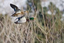 Pair of Mallard Ducks Flying Past the Snow Filled Winter Woods