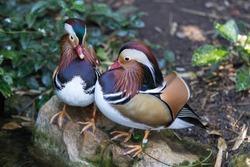 Pair of Mandarin duck in the Adelaide zoo. Aix galericulata
