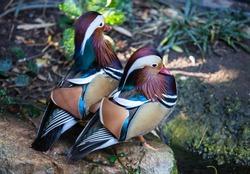 Pair of Mandarin duck in the Adelaide zoo. Aix galericulata.