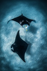 Pair of Manta rays circle below. Ningaloo reef, Western Australia
