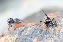 Pair of mating Omodeus sp., dancing. A tiny black and white striped ant-eating jumping spider.