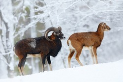 Pair of Mouflon, Ovis orientalis, horned animal in snow nature habitat. Close-up portrait of mammal with big horn, Czech Republic. Cold snowy tree vegetation, white nature. Snowy winter in forest.