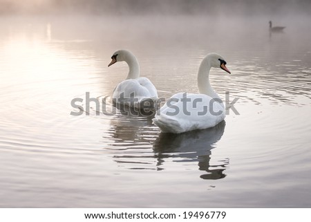 Pair of Mute swans (Cygnus olor) looking away from each other on misty lake