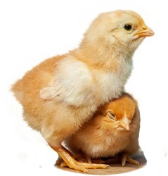 Pair of new born baby chicks isolated on white background. Friendskip. Baby chick. Easter chick on white background