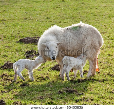 Pair of new born lambs with the sheep mother in welsh meadow in spring