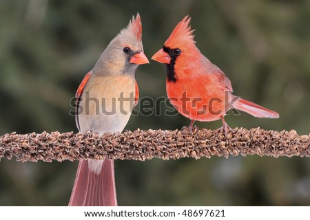 Pair of Northern Cardinals (cardinalis) on a branch green background